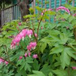 Bleeding heart in front garden, spring